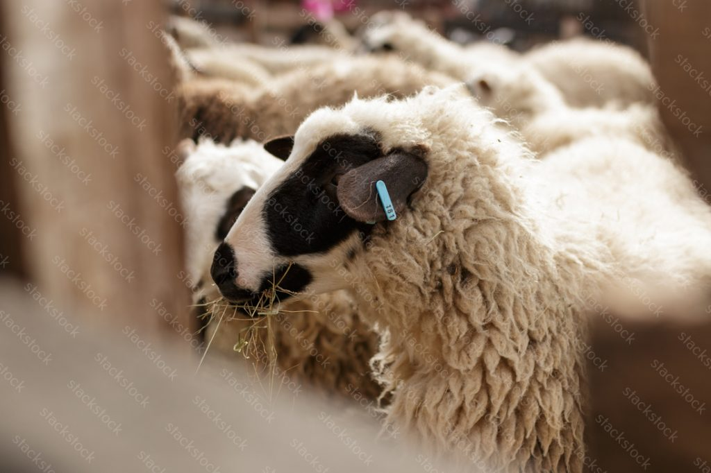 Sheep eating on the farm