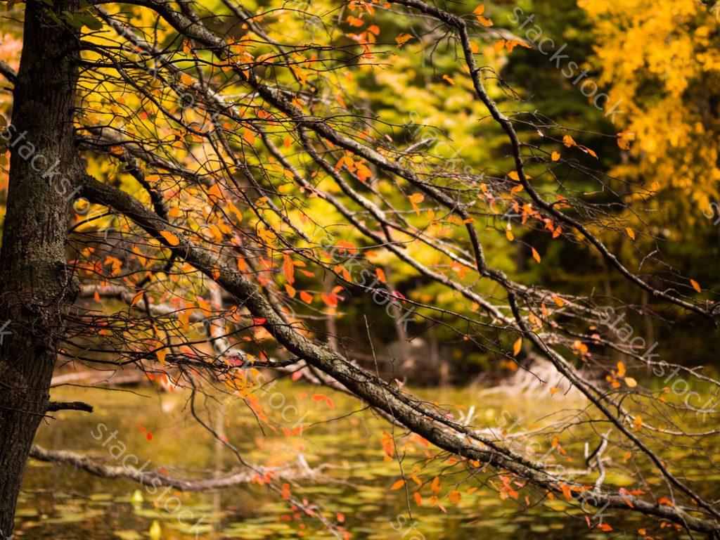 Trees fall with bright autumn foliage