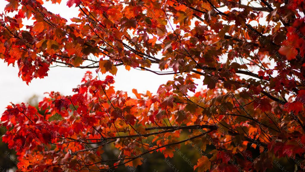 Bright red tree foliage
