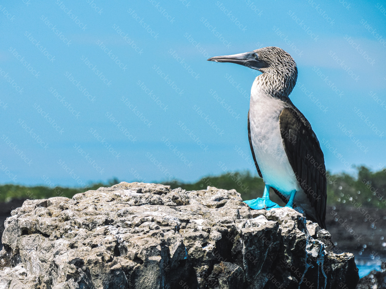 Blue-footed boobie bird