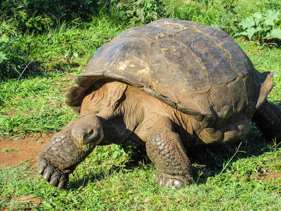 Giant Tortoise in Santa Cruz, Ecuador