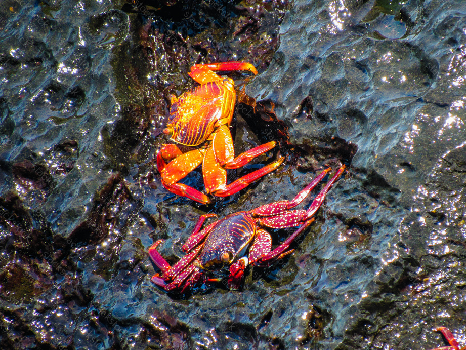 Brightly colored crabs on the Galapagos Islands. Tourism, ecology.