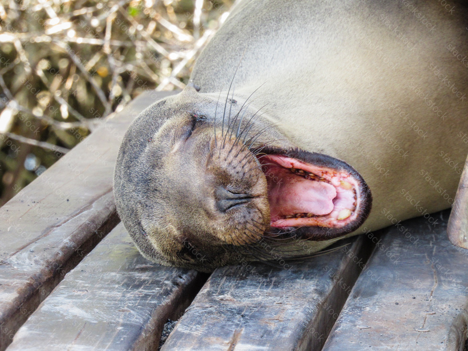 Seal yawning on a bench