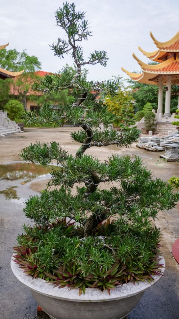 Bonsai trees on temple courtyard