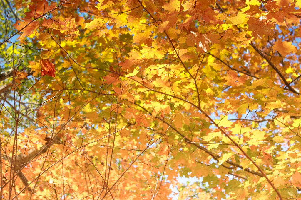 Autumnal colors. Leaves