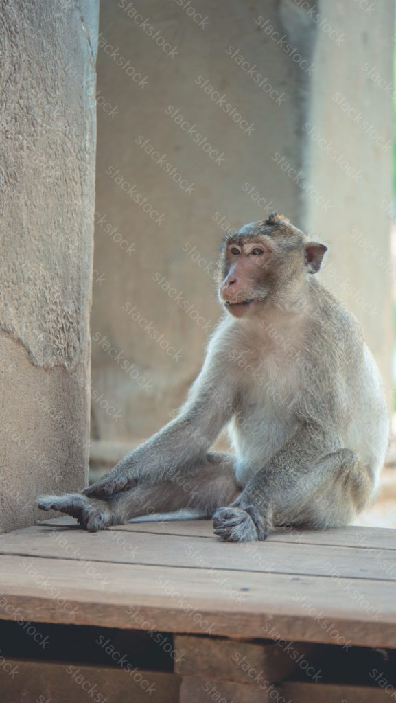 Monkey at Angkor Wat Temple Cambodia