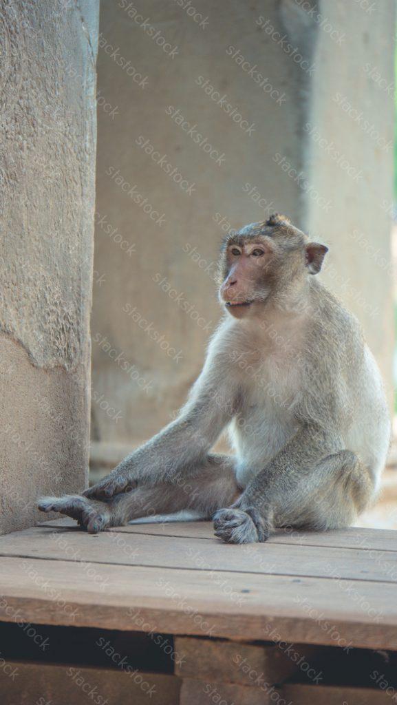 Monkey at Angkor Wat Temple Cambodia