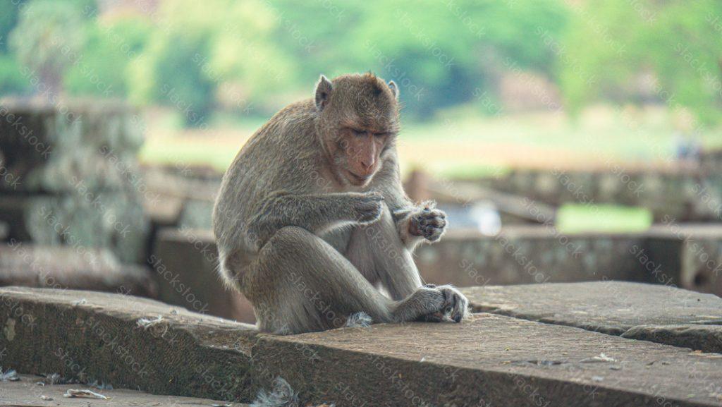 Monkey in Angkor Wat cambodia.
