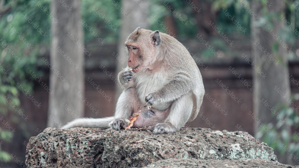 Monkey in Angkor Wat, Cambodia.