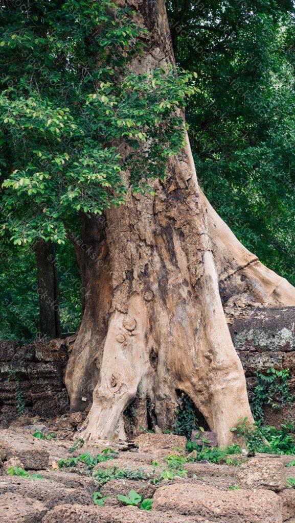 Giant banyan tree at Angkor Wat complex, Siem Reap, Cambodia