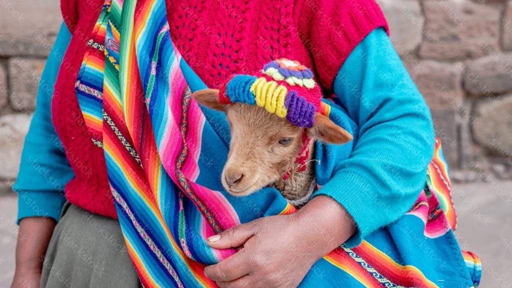 Close up of the head of a baby llama being held by a woman, in Cusco, Peru
