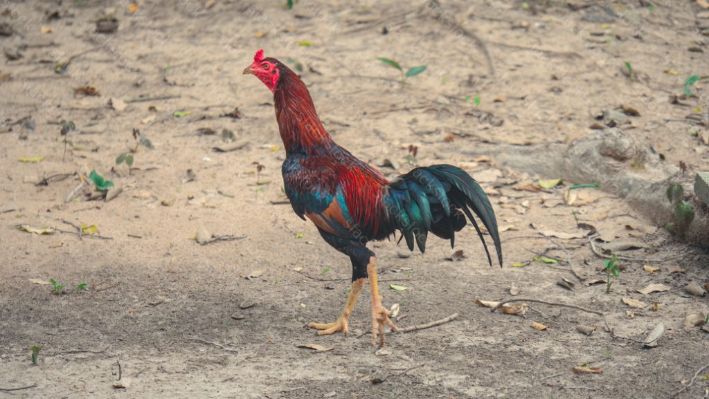 Chicken at Ta Prohm in Siem Reap. Cambodia